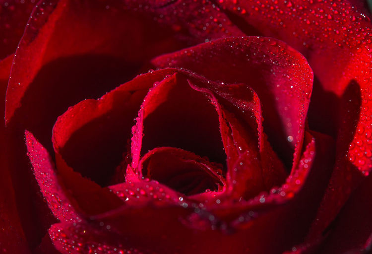 Red Close-up Full Frame Beauty In Nature Flower No People Flowering Plant Freshness Petal Plant Flower Head Nature Backgrounds Inflorescence Water Drop Rosé Rose - Flower Dew