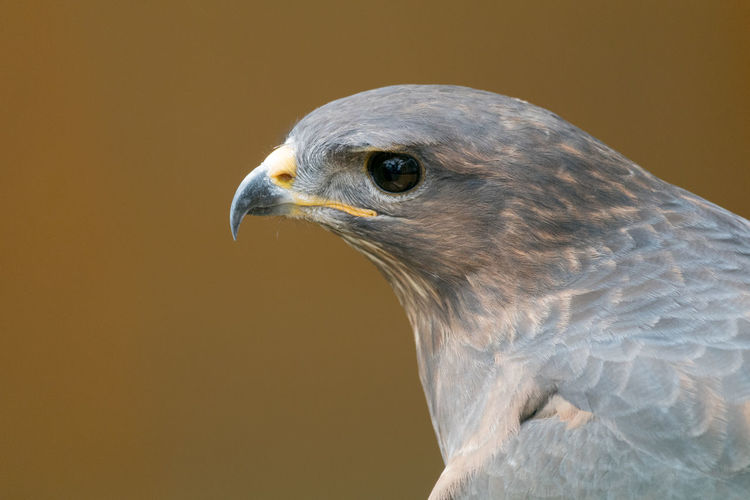 Close-up of bird against brown background