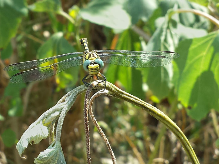 Onychogomphus Forcipatus - Serchio River Anisoptera Arthropoda Beauty In Nature Close-up Dragonfly Happy Dragonfly On Plant Dragonfly Portrait Focus On Foreground Gomphidae Hexapoda Insect Insecta Nature Odonata Odonata Happy Odonata On Plant Odonata Portrait Onychogomphus Outdoors Winged