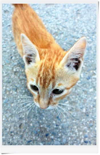 Alertness Animal Head  Animal Themes Carnivora Cat♡ Close-up Day Domestic Animals Domestic Cat Feline Focus On Foreground Looking At Camera Mammal No People One Animal Pets Portrait Whisker Zoology