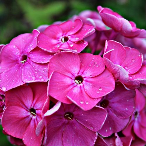 Close-up of wet pink flowers