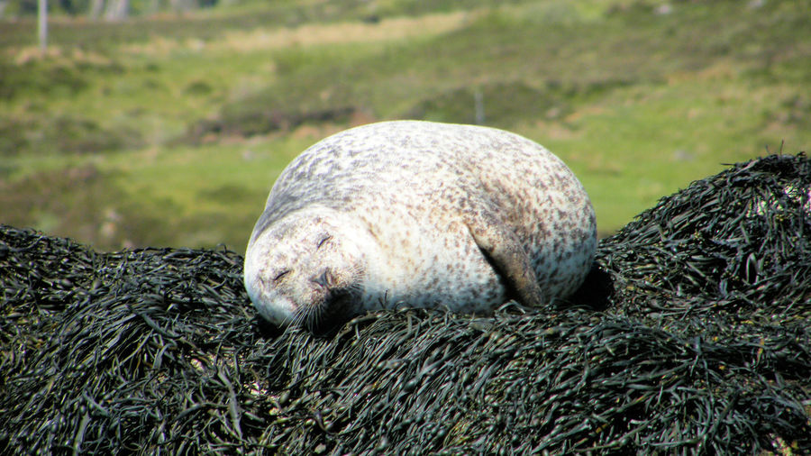 Animal Themes Animal Wildlife Animals In The Wild Close-up Common Seal Day Dunvegan Isle Of Skye Loch Dunvegan Mammal Nature No People One Animal Outdoors Scotland Seal Seal On The Rock Seal On The Shoreline Seals On Rocks