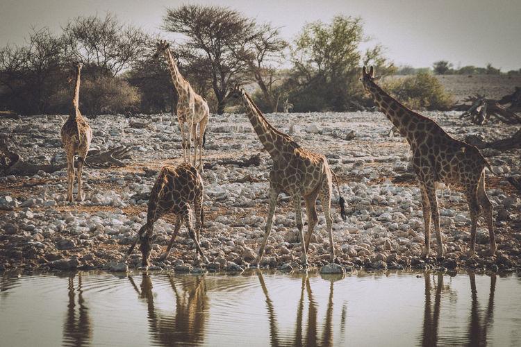 Giraffe standing on lake shore