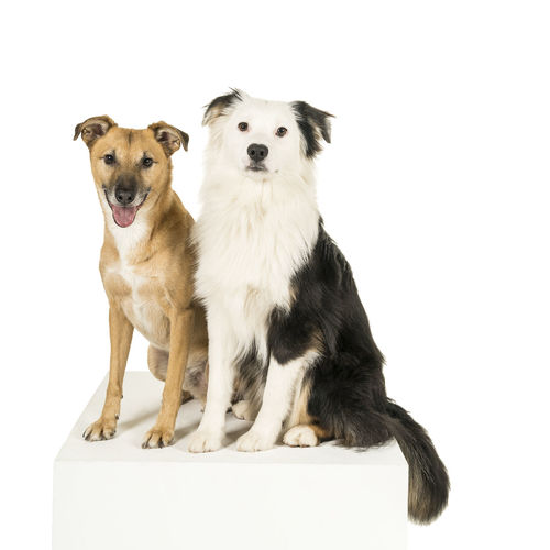 Little brown mixed breed dog and a black and white australian shepherd sitting on a white cube sideways isolated in a white background looking at the camera Canine Dog Domestic Pets Mammal Animal Themes Domestic Animals Animal White Background Studio Shot Two Animals Vertebrate Sitting Indoors  Portrait Looking At Camera No People Cut Out Animal Family Two Dogs Friendship Australian Shepherd  Mixed-breed Dog Togetherness