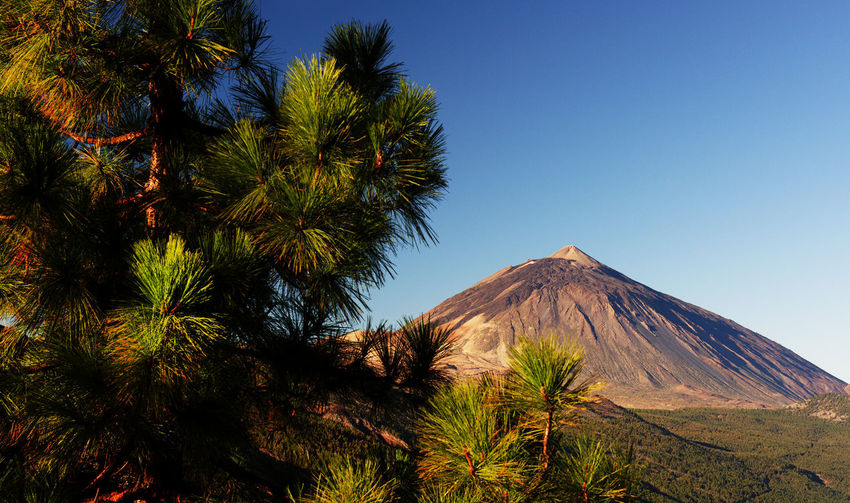 Trees Growing At El Teide National Park Against Clear Blue Sky