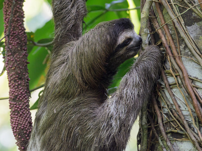 Close-up of sloth on tree trunk