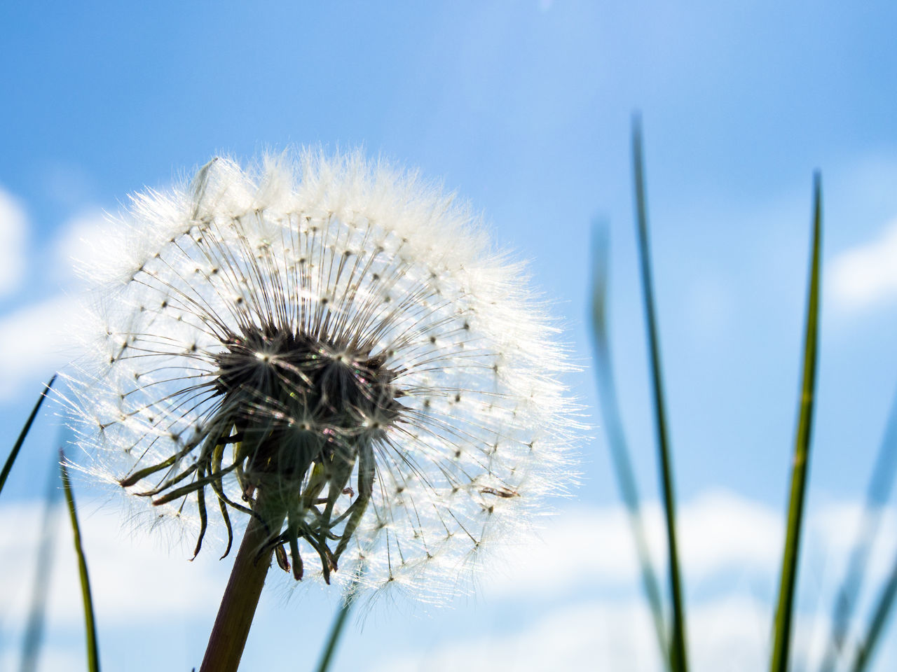 flower, nature, fragility, growth, beauty in nature, dandelion, flower head, day, white color, close-up, focus on foreground, plant, freshness, no people, petal, outdoors, thistle, sky