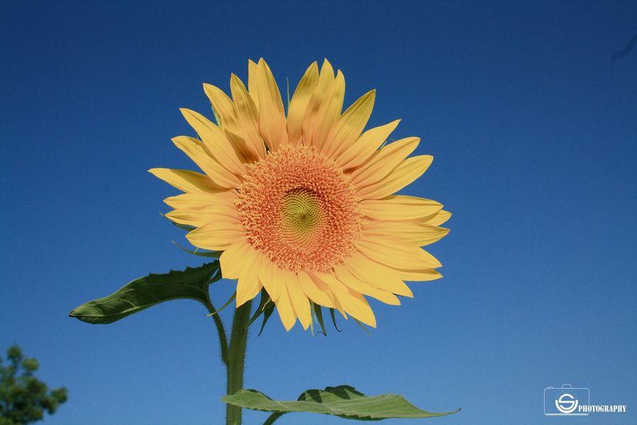Usphotography Unmeshshirsath Contrast Flower Sunflowers🌻