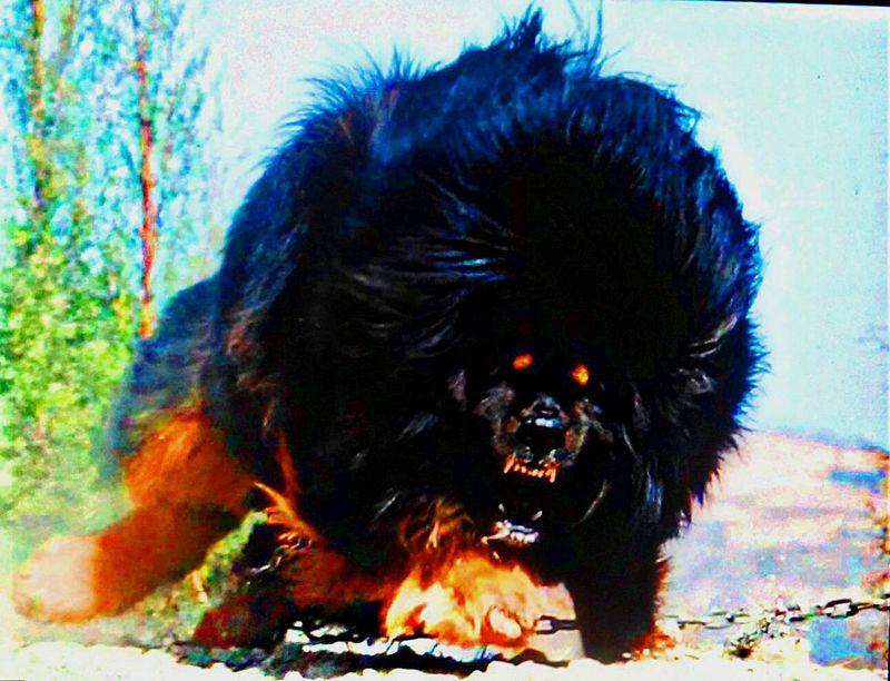 Tibetan Mastiff Check This Out