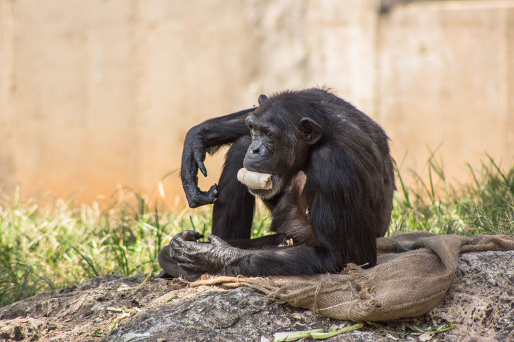Chimpanzee carrying wood shavings in mouth at zoo