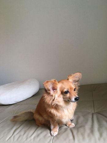 Dog Chihuahua Mixdog チワックス チワワ 犬