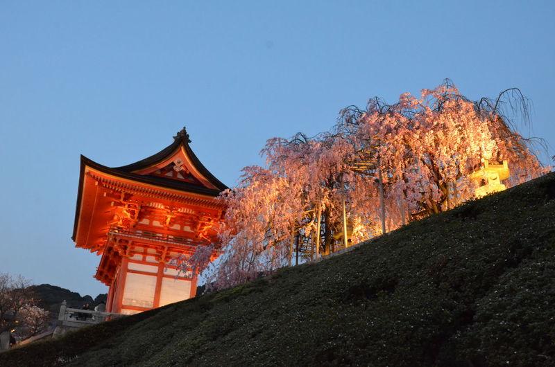 A Niomon Architecture Clear Sky Cultures Deva Gate Evening Miharutaki Zakura Outdoors Sakura Blossom Sky Travel Destinations Tree