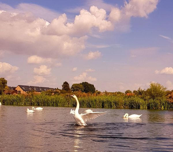 Animals In The Wild Animal Wildlife Water Bird Swan Beauty In Nature No People Animal Themes Outdoors Dancing Swan