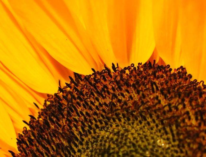 Close-up of orange sunflower