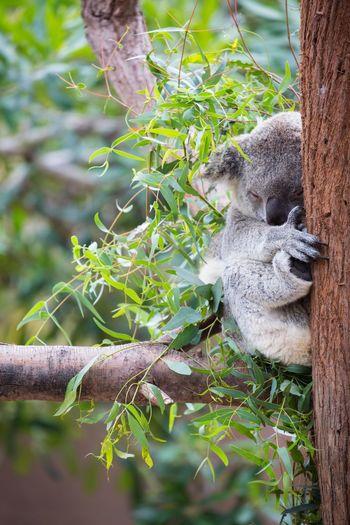 Koala sleeping on eucalyptus tree