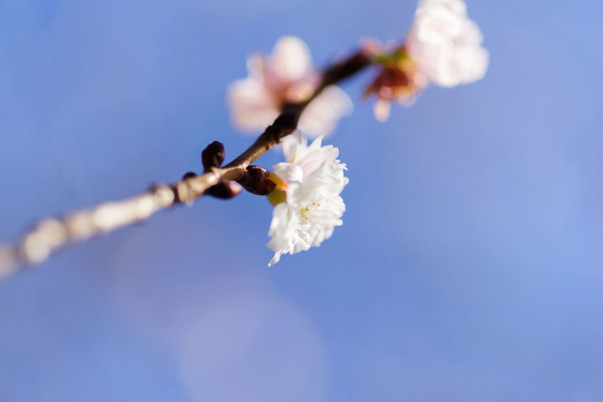 Flowering Plant Flower White Color Beauty In Nature Vulnerability  Plant Fragility Freshness Close-up Nature No People Day Focus On Foreground Sky Growth Petal Flower Head Selective Focus Twig Branch Springtime Outdoors Softness Cherry Blossom