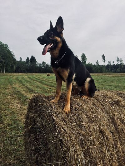 Dog Canine Pets Domestic One Animal Domestic Animals Mammal Animal Vertebrate Animal Themes Plant Grass Sky No People Outdoors Facial Expression Land Field Nature Day