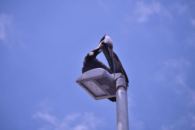 Low angle view of a brown pelican  on wood against sky