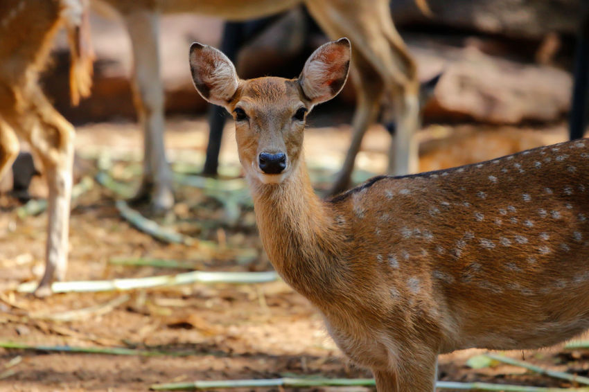Axis Deer Deer Spotted Deer Animal Animal Wildlife Looking At Camera Standing Nature Portrait Animal Themes Animals In The Wild Day Oryx Antelope Oryx Oryx Gazella Eland Antilope Nature Photography Beauty In Nature Domestic Animals Nature Collection Zoo Animals  Safari Animals