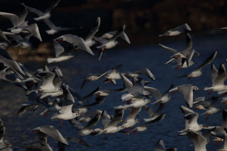 Animals In The Wild Animal Wildlife Group Of Animals Large Group Of Animals Flying Vertebrate Animal Animal Themes Bird Flock Of Birds Spread Wings Mid-air No People Water Motion Seagulls Apulia Italy Italia Puglia Giovinazzo