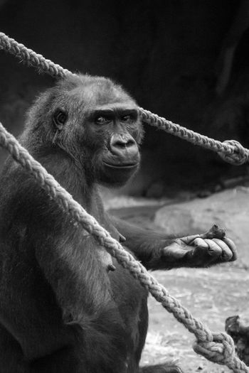 What are you looking for? Animal Themes Blackandwhite Gorilla Looking Monkey Monochrome Nopeople One Animal Side View Sitting