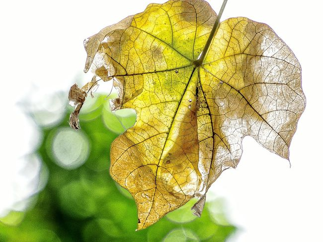 Dreamlike Yellow Leaf Vein Abstract Close-up Sunlight Full Frame Leaf Wilderness Detail EyeEm Nature Lover Artistic Expression Exceptional Photography EyeEm Gallery Getting Inspired My Unique Style EyeEm Best Shots Growth Beauty In Nature Bokeh Lights Tranquil Scene Low Angle View