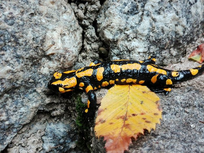 Day Close-up No People Outdoors Leaf Nature Animal Themes Animals In The Wild Textured  One Animal Nature Firesalamander Autumn