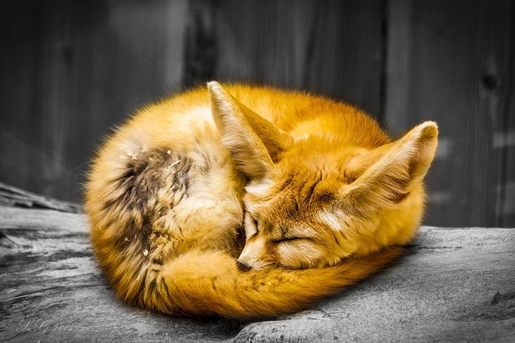 Close-up of fox sleeping