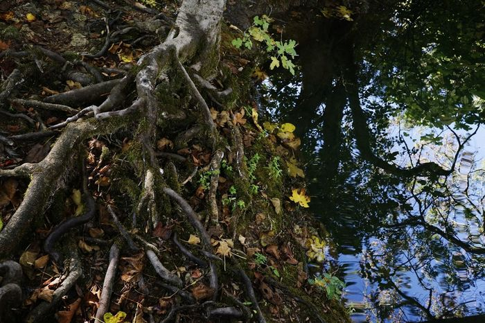 Bizarreplants Nature Photography Photography Bildfolge Croatia Krka National Park Outdoors No People Roots Of Tree Lake Water Nature Autumn Autumn Colors Tree Detail Light And Shadow