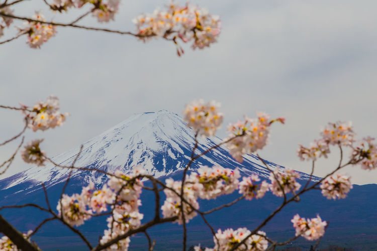 Close-Up Of Cherry Blossoms Against Mountain