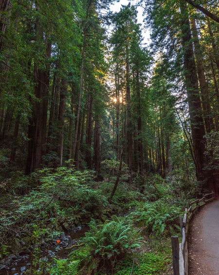 Plant Tree Forest Land Growth Tranquility Nature WoodLand Green Color No People Scenics - Nature Beauty In Nature Day Tranquil Scene Non-urban Scene Footpath Direction The Way Forward Outdoors Lush Foliage Trail Redwoods