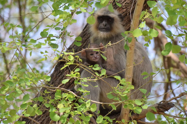 Mother and his off spring $ RePicture Motherhood Affection Love Caring Monkey Pastel Power EyeEm EyeEm Gallery Getty Images EyeEm Best Shots Eyeem Best Image Eyeem Best Click Eyeem4photography Eye4photography  From My Point Of View EyeEm Nature Lover Eyeem X Whitewall: Nature Eyeem X Whitewall: Animals Eliment Of Nature Wonder Of Nature Spring Is In The Nature Spring Has Arrived Spring EyeEm Animal Lover Eyeem West Bengal - India The Still Life Photographer - 2018 EyeEm Awards Love Is Love