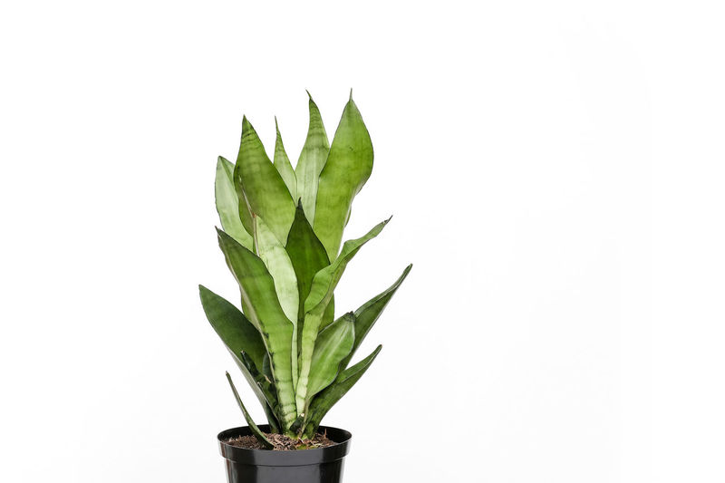 Sansevieria Plant Part Leaf Growth Plant Studio Shot White Background Green Color Close-up Nature No People Copy Space Potted Plant Cut Out Still Life Houseplant Freshness Indoors  Sansevieria Trifasciata Asparagaceae Snake Plant Mother-in-law's Tongue Beauty In Nature Sansevieria Viper's Bowstring Hemp