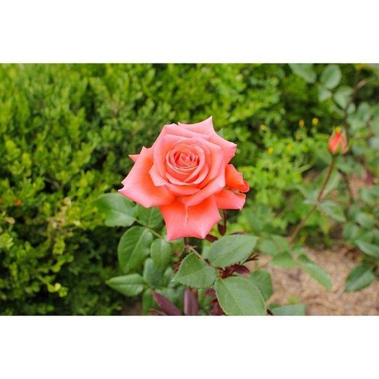 대구 이곡동 장미공원 스냅 일상 꽃 Flower