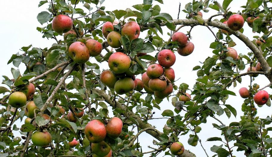 Autumn Harvest Apple Orchard Autumn Apple - Fruit Apple Tree Apples Beauty In Nature Branch Close-up Fall Food Food And Drink Freshness Fruit Green Color Growth Harvest Harvest Time Healthy Eating Leaf Low Angle View Nature No People Outdoors Ripe Tree Food Stories