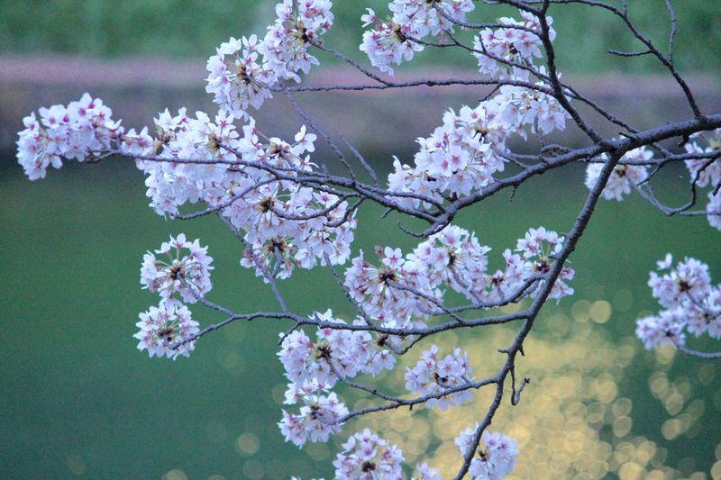 Cherry Blossoms 桜 Sakura 千鳥ヶ淵 Chidorigafuchi EyeEm Nature Lover