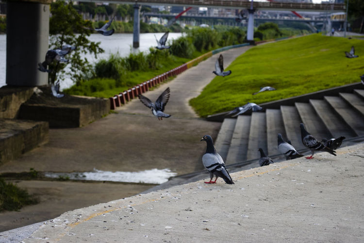 View of pigeons perching on footpath