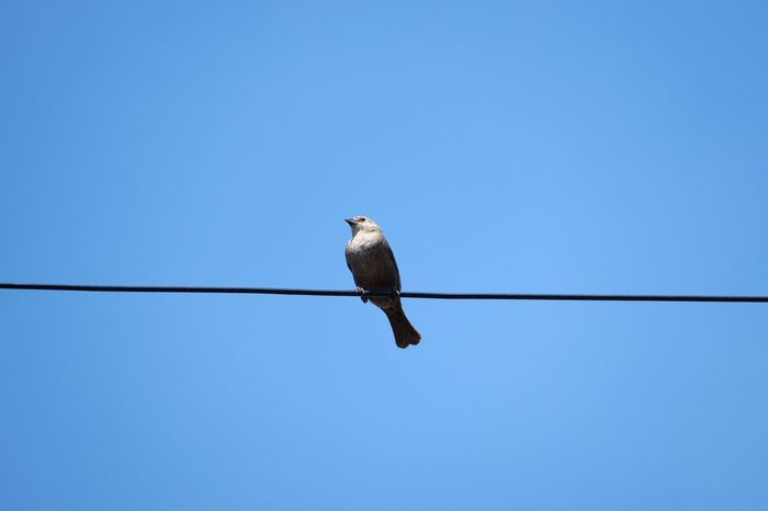 Bird on a Wire Bird One Animal Low Angle View Clear Sky No People Blue Outdoors Day Cable Minneapolis Minnesota Fuji X-T1 FUJIFILM X-T1 Close-up Vibrant Color Fuji 100mm-400mm