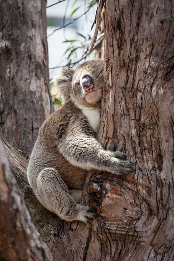 Close-up of koala sitting on tree trunk