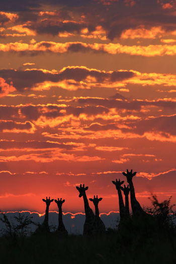 Silhouette Giraffes Standing Against Dramatic Sky During Sunset