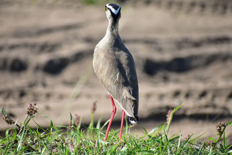 Shore Bird Lapwing Crowned Lapwing Tall Bird Water Bird Long Legs Beauty In Nature Bird Photography EyeEm Selects Bird Bird Of Prey Feather  Beak Animal Themes Grass Close-up Leg Foot Animal Wing