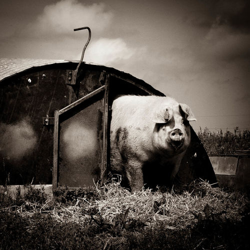 Cool Photo Of Pig Creepy Pig Farm Farm Animals Fat Pig Owelian Paula Puncher Pig Pig Farm Pig In Hut Pig Looking Forward Sepia Sepia Photography