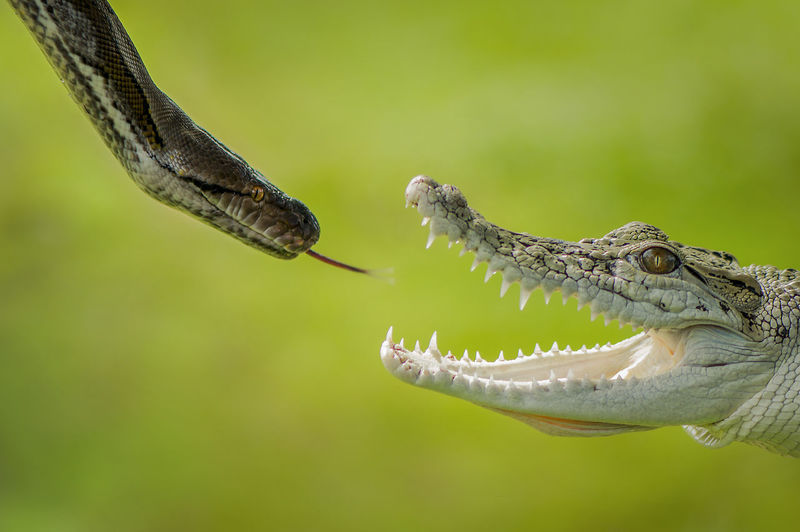 Snake And Crocodile Fighting With Each Other