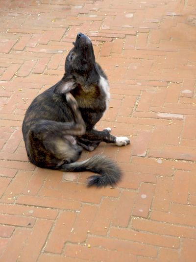Dog Scratch Animal Themes Discomfort Dog Fleas Scratching Sitting Strawberry Street Dog