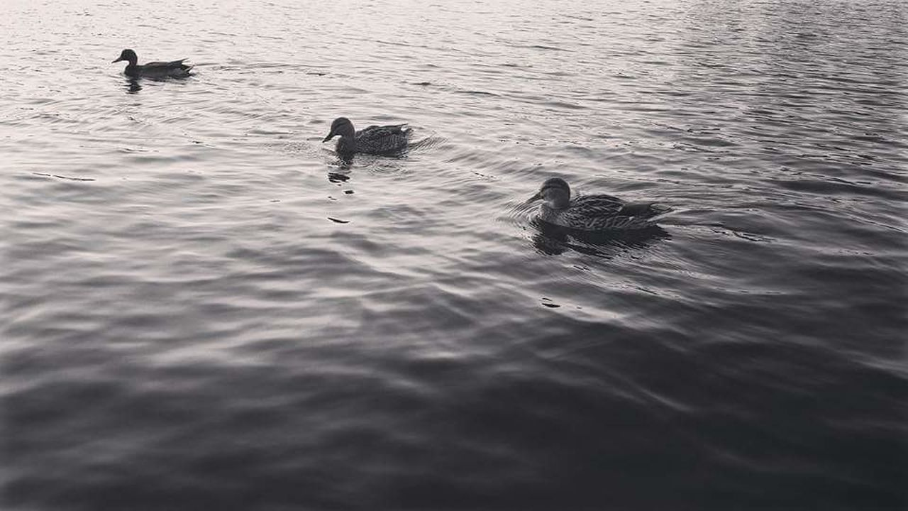 animal themes, animals in the wild, swimming, water, animal wildlife, bird, no people, nature, lake, day, high angle view, waterfront, rippled, outdoors, water bird, togetherness