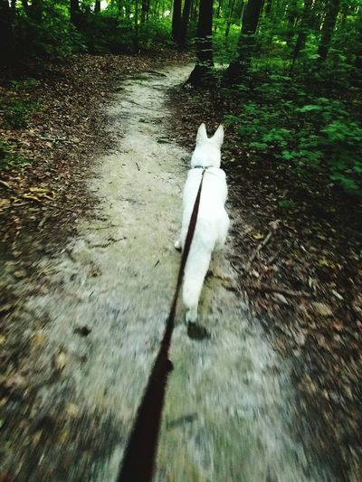 White German Shepherd Dog Walking Ahead Dog On Leash Trail Outdoors