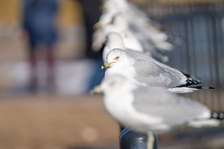 Seagull perched and watching you on a vibrant sunny day of winter