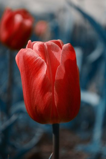 Red Love Close-up Flower Focus On Foreground No People Day Springtime Colorplay Changed Color Nature Nikonphotography Nature Photography Art Is Everywhere Tulips