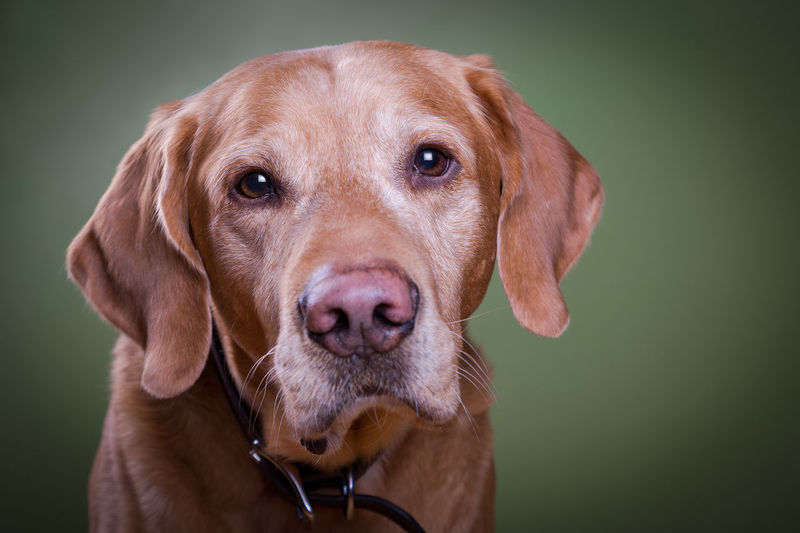 dog looking at camera portrait Stuido Photography Animal Themes Close-up Day Dog Domestic Animals Looking At Camera Mammal No People One Animal Pets Portrait Studio Shot