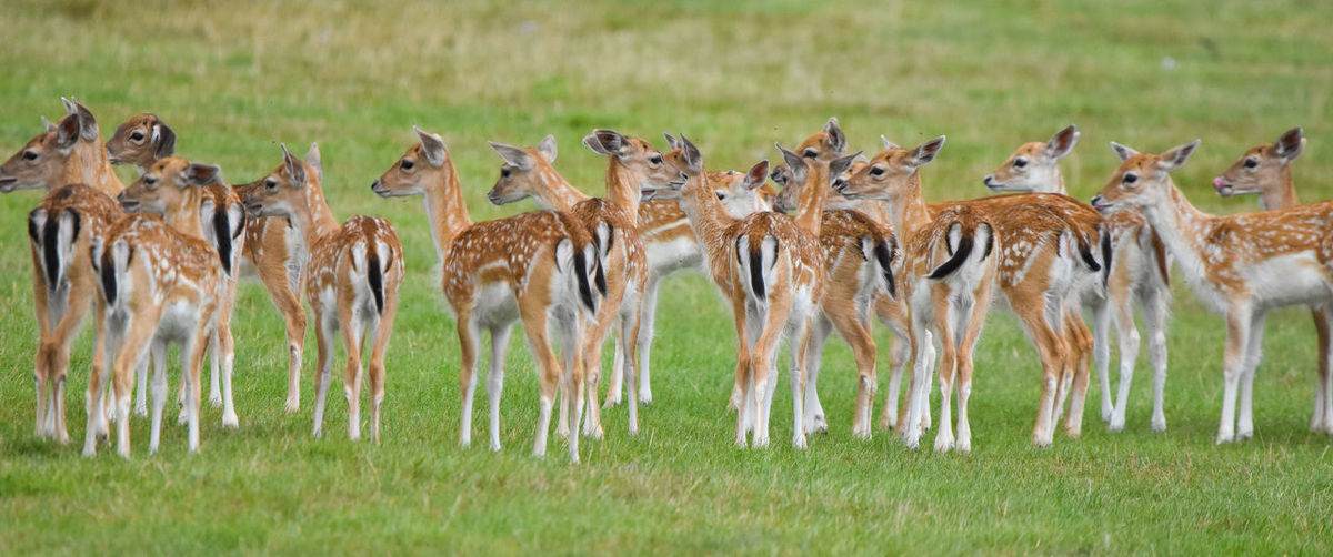 Deer Animal Themes Animal Wildlife Animals In The Wild Day Field Grass Large Group Of Animals Mammal Nature No People Outdoors Safari Animals Standing Togetherness
